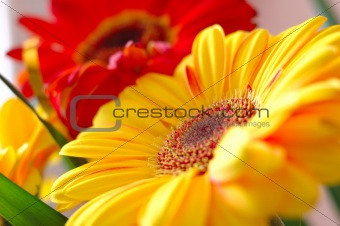 Bright red and yellow gerbera flowers.