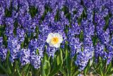 Daffodil and purple hyacinths