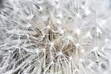 abstract dandilion background