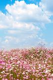 Field of wild cosmos flowers