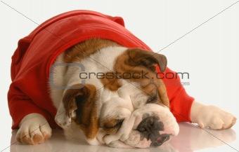 english bulldog sleeping