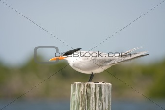 A Royal Tern perched on a piling