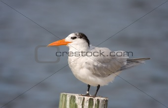 A Royal Tern perched on a piling in the bay