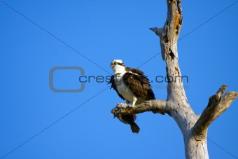An Osprey perched in a tree and eating a Flounder