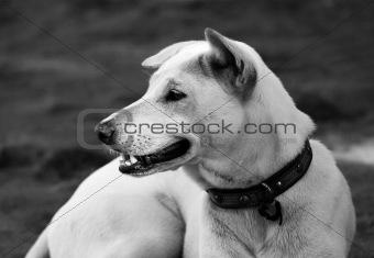 Attentive white dog