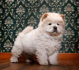 young Chow-chow in a retro room