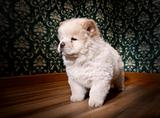 Puppy Chow-chow in a retro room