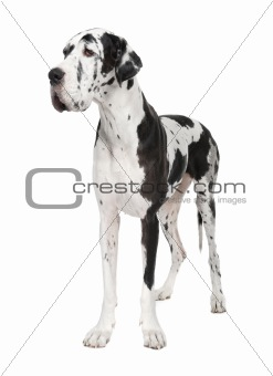 Great Dane (4 years old)