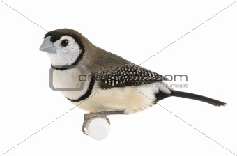 Double-barred Finch - Taeniopygia bichenovii