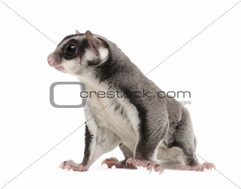 sugar glider - Petaurus breviceps (3years old)