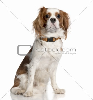 Cavalier King Charles Spaniel (1 year old)