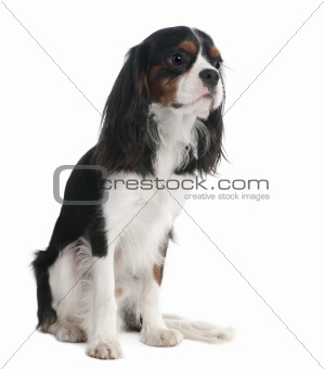 Cavalier King Charles Spaniel (18 months old)