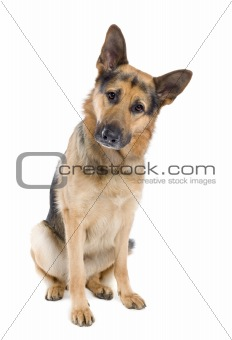german shepherd (2 years old)