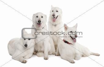 White Shepherd Dog (1 year old)