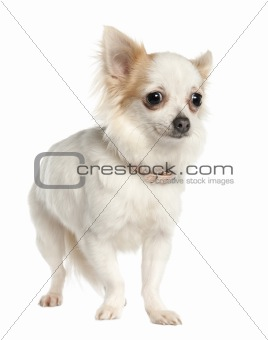 long haired chihuahua (11 months old)