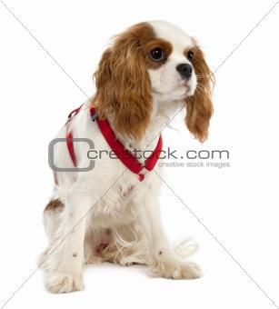 Cavalier King Charles Spaniel puppy (7 months old)