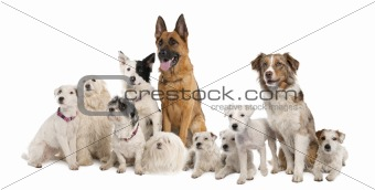 group of dog : german shepherd, border collie, Parson Russell Te