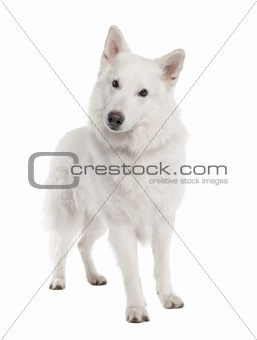 White Shepherd Dog (6 years old)