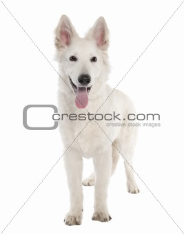 White Shepherd Dog puppy (5 months old)