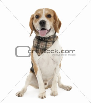 Beagle (20 months old)