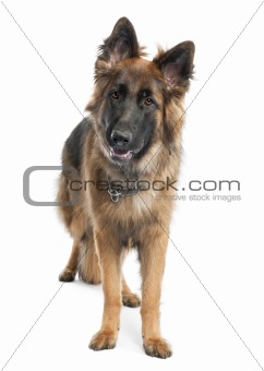 german shepherd (1 year old)