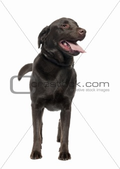 Labrador (3 years old)