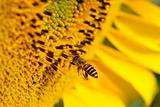 Flying bee and sunflower