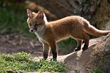 Red Fox in British Countryside
