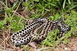 Adders in the grass