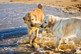 Two Golden Retrievers playing with stick