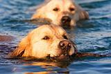Golden Retriever in the water