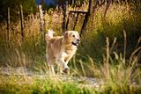 Golden retriever running