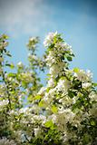 flowered apple tree