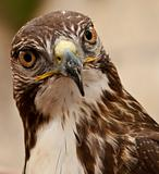 Portrait of a Raptor