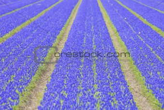 a field with fresh and bright vibrant hyacinth flowers in spring