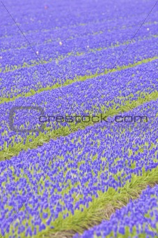 a field with fresh and bright hyacinth flowers in spring with strong lines