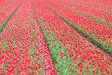 Fresh pink tulip flowers in a field in spring with strong lines