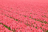 Fresh pink tulip flowers in spring in a meadow