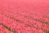 Fresh pink tulip flowers in spring in a meadow