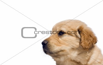 Cute yellow lab mix puppy, isolated over white with copy space.