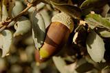 Bellota en encina - acorn on holm oak