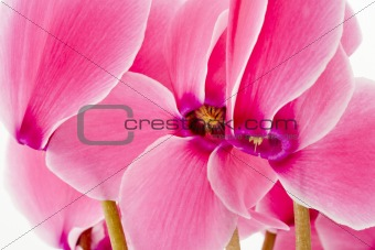 Close up of a Cyclamen flowers