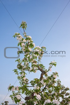 apple trees in bloom at garda lake in italy