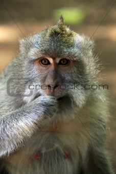Portrait of the monkey