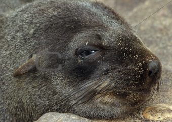 Cape Fur Seal Pup