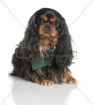 Cavalier King Charles Spaniel (3 years old)