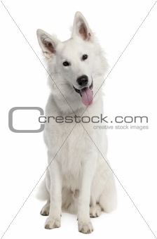 White Shepherd Dog (9 months old)