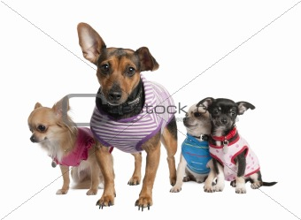 group of three chihuahua and a bastard