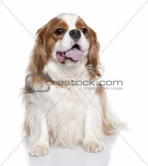 Cavalier King Charles Spaniel (2 years old)