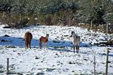 family horses on snow